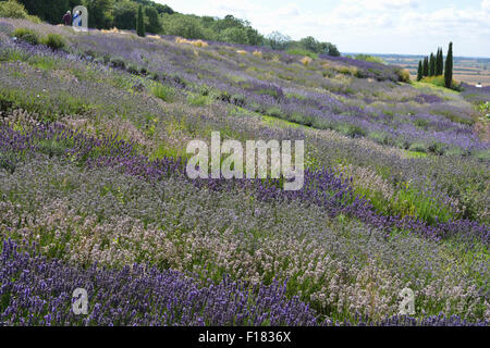 Yorkshire Lavender Farm, view over the lavender garden in August. - Stock Photo