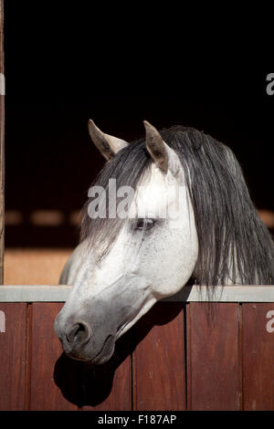 White lusitano Horse in stable look outside a window - Stock Photo