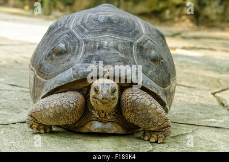 The habitat of the Aldabra Tortoise is Island of the Aldabra Atoll in the Seychelles. - Stock Photo