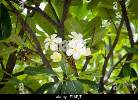 'Sherman' ('Polynesian White') Plumeria (Plumeria rubra frangipani acuminata) flowers and leaves.  Waikoloa, Hawai'i. - Stock Photo