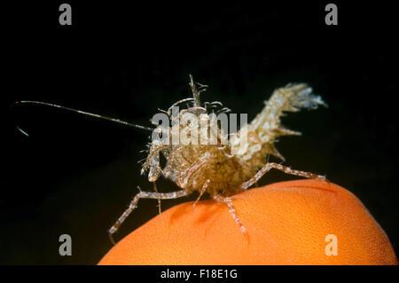 Oct. 15, 2014 - Sea Of Japan, Primorye, Far East, Russia - Sharps shrimp (Rhynocrangon sharpi, Ortmann) Sea of Japan, - Stock Photo