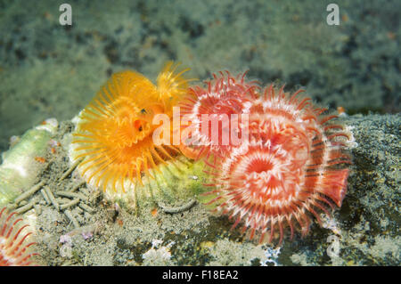 Oct. 15, 2014 - Sea Of Japan, Primorye, Far East, Russia - calcareous tubeworm, serpulid tubeworm, fanworm, or plume - Stock Photo