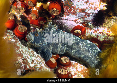 Oct. 15, 2014 - Sea Of Japan, Primorye, Far East, Russia - Japanese warbonnet or fringed blenny (Chirolophis japonicus) - Stock Photo