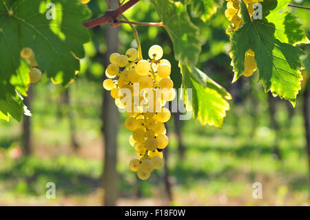 Back lit white grapes growing in a vineyard - Stock Photo