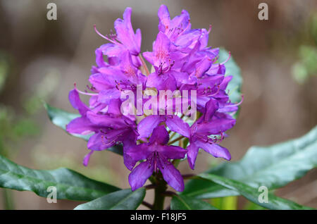 Rhododendron flower head purple UK - Stock Photo