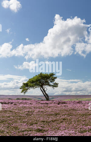 Lone tree on Egton Moors in August 2015, The North Yorkshire Moors, England. - Stock Photo