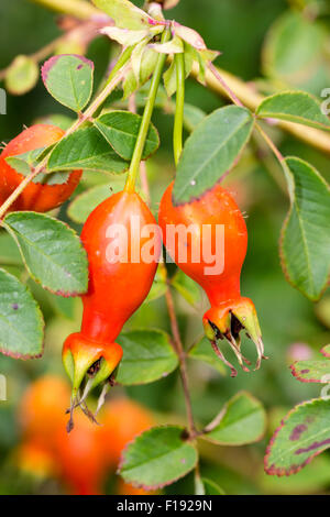 Autumn hips of the species rose, Rosa moyesii 'Geranium' - Stock Photo