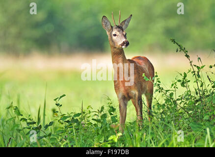 Photo of wild roe deer standing in a grass - Stock Photo