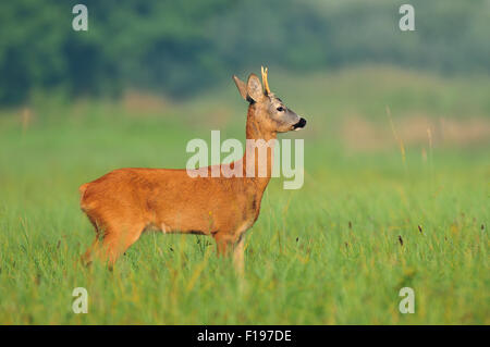 Photo of wild roe deer in a field - Stock Photo