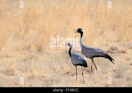Adult and young Demoiselle cranes walking in hot steppe - Stock Photo