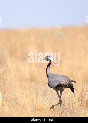 Demoiselle crane walking in hot steppe - Stock Photo