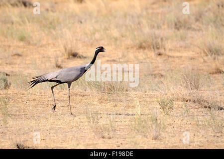 Demoiselle crane walking in hot steppe - Stock Photo