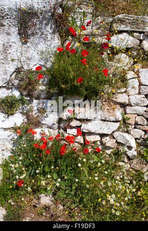 Griechenland, Kykladen, Naxos, Apiranthos, Blumen an Hauswand - Stock Photo