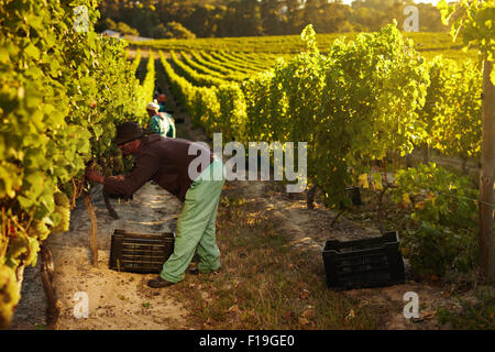 Image of worker picking grapes from vines and collecting in container, people harvesting grapes for wine in vineyard. - Stock Photo