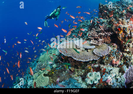 px0152-D. scuba diver (model released) admires healthy coral reef with diversity of soft and hard corals and abundant - Stock Photo
