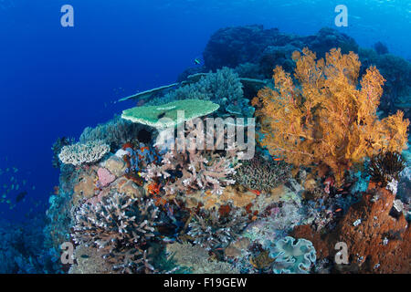 px0297-D.  healthy coral reef, with a variety of hard corals, soft corals, and sponges. Indonesia, tropical Pacific - Stock Photo