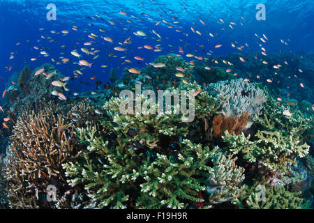 px0665-D. Healthy coral reef bustling with life. Anthias (Pseudanthias spp.) feeding in the current over branching - Stock Photo