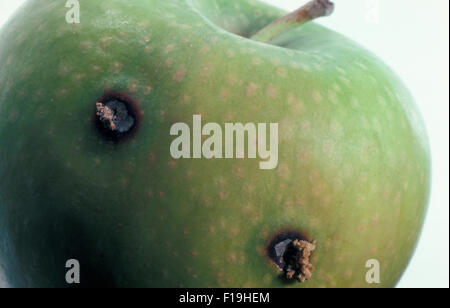 DAMAGE TO GRANNY SMITH APPLE BY THE CODLING (OR CODLIN) MOTH (CYDIA POMONELLA) CATERPILLAR - Stock Photo