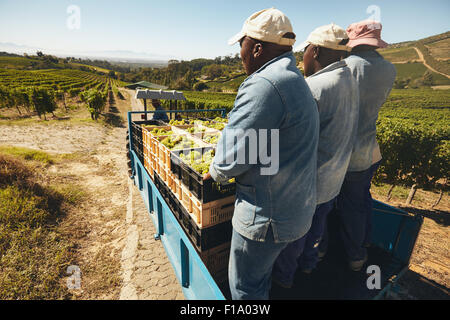 Grapes boxes being delivered from the vineyard to wine manufacturer on a tractor trailer with farmers. Transporting - Stock Photo