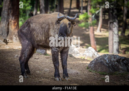Takin, goat-antelope - Stock Photo