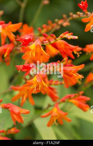 Crocosmia genus Iridaceae coppertips falling stars montbretia bright orange flowers against green slender blade - Stock Photo