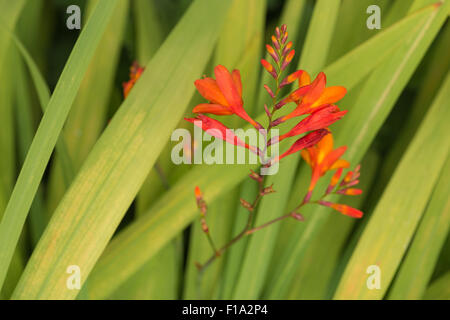 Crocosmia genus Iridaceae coppertips falling stars montbretia bright orange flowers against green slender blade - Stock Photo