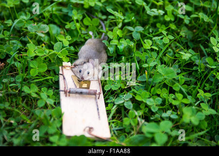 Dead animal mouse in trap, lying on green grass lawn, garden, park, outside, backyard, summer - Stock Photo