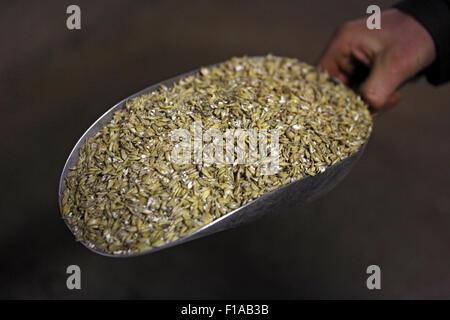 Koenigs Wusterhausen, Germany, forage Mass with bruised oats - Stock Photo
