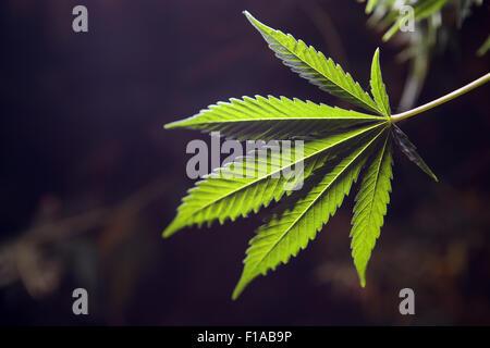 Wismar, Germany, Journal of Cannabis Plant - Stock Photo