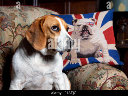 Photograph by © Jamie Callister. Pip the Beagle Hound, Ruthin, Denbighshire, North Wales, 30th of August 2015. - Stock Photo