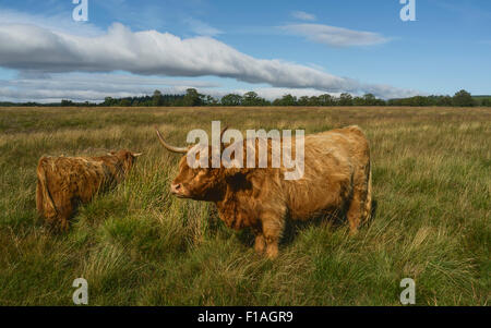 Scottish Highland cattle graze on open pasture in the heart of the North York Moors National Park on a bright summer - Stock Photo