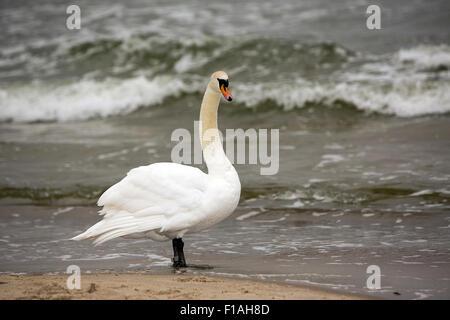 Zinnowitz, Germany, a swan on the Baltic beach on Usedom - Stock Photo