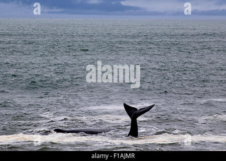 The tail of a humpback whale at Hermanus, Western Cape, South Africa - Stock Photo