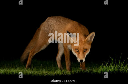 Urban fox in the night - Stock Photo