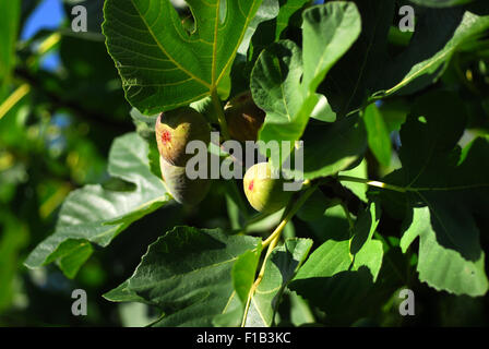Figs on a tree - Stock Photo