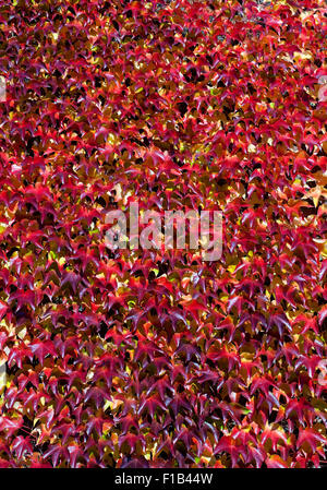 Japanese creeper (Parthenocissus tricuspidata), in autumn colors, growing on a wall, Germany