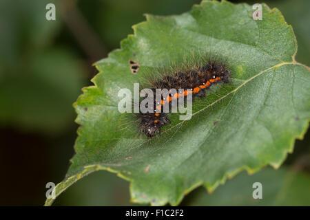 Light Knot Grass, Heidemoor-Rindeneule, Rindeneule, Fieberklee-Sumpfeule, Raupe, Acronicta menyanthidis, Apatele menyanthidis Stock Photo