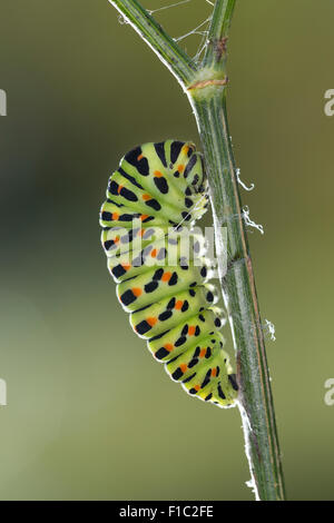Old World swallowtail, common yellow swallowtail, swallow-tail, caterpillar, Schwalbenschwanz, Raupe, Papilio machaon, - Stock Photo