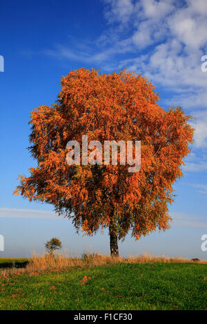 lonely birch tree, Betula,  in autumn colors - Stock Photo