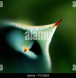 Close-up view of aloe plant leaves and thorn from above - Stock Photo