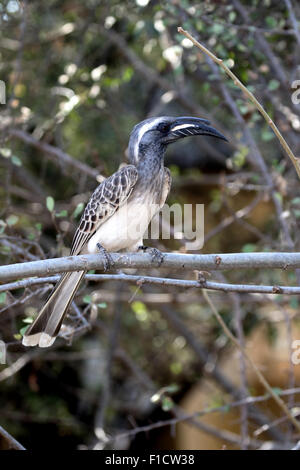 African-grey hornbill, Tockus nasutus, single bird on branch, South Africa, August 2015 - Stock Photo