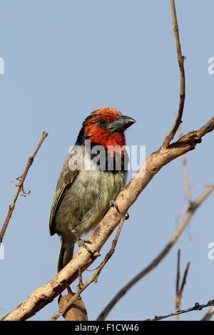 Black-collared barbet, Lybius torquatus. single bird on branch, South Africa, August 2015 - Stock Photo