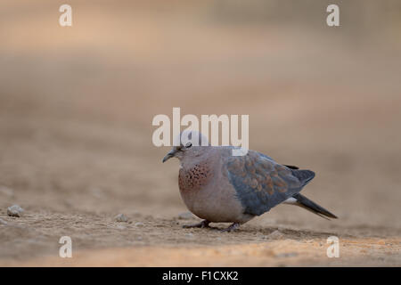 Laughing dove, Streptopelia senegalensis, single bird on ground, South Africa, August 2015 - Stock Photo