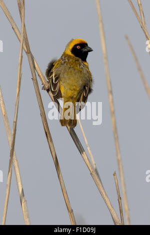 Southern-masked weaver, Ploceus velatus, single male on branch, South Africa, August 2015 - Stock Photo