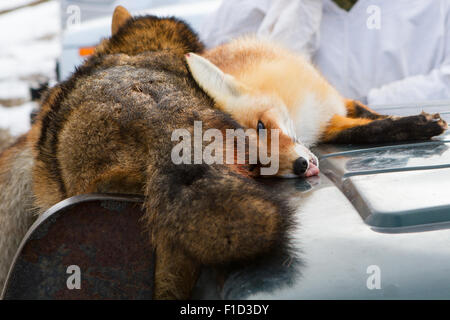 Dead foxes after the hunt in the woods on a car hood - Stock Photo