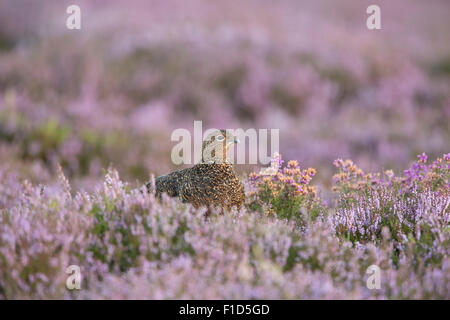 Red Grouse Amongst Heather On The Yorkshire Moors. - Stock Photo