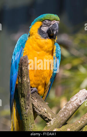 Blue and yellow macaw perched on a branch - Stock Photo