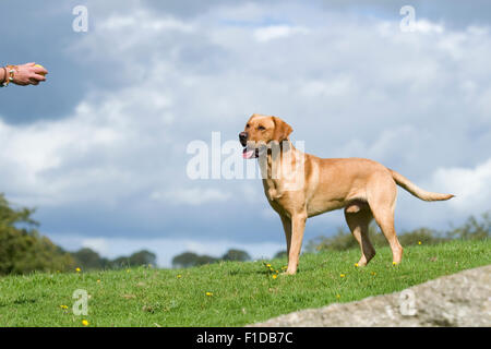 labrador waiting for ball to be thrown - Stock Photo