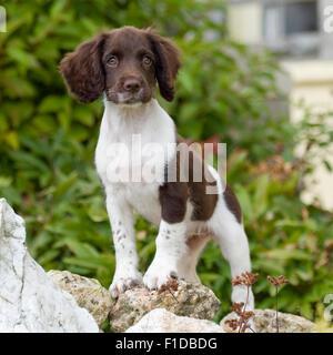 english springer spaniel puppy - Stock Photo