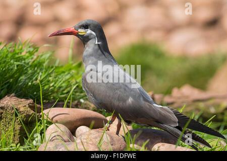 Portrait of an Inca Tern on a rock - Stock Photo